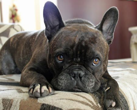 Harley the French Bulldog Mix