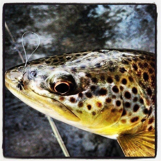 Appalachian Wanderings, Brown Trout, Fly Fishing, Trout Bum.