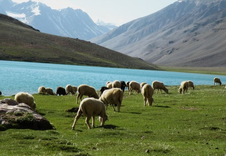 Mountain sheep grazing by the ChandraTal. To book your mountain adventure call at +91 9784110544 Or +91 8559955333. send e-mail at honey@boutindia.com‪ #chandratal #mountainadventures #mountainalakes #Himalayasnlakes #camp #hike #explore #boutindia #trailsacrossindia #mothernature #peace #serenity