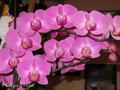 По моему хотению - фаленопсис, цвети!