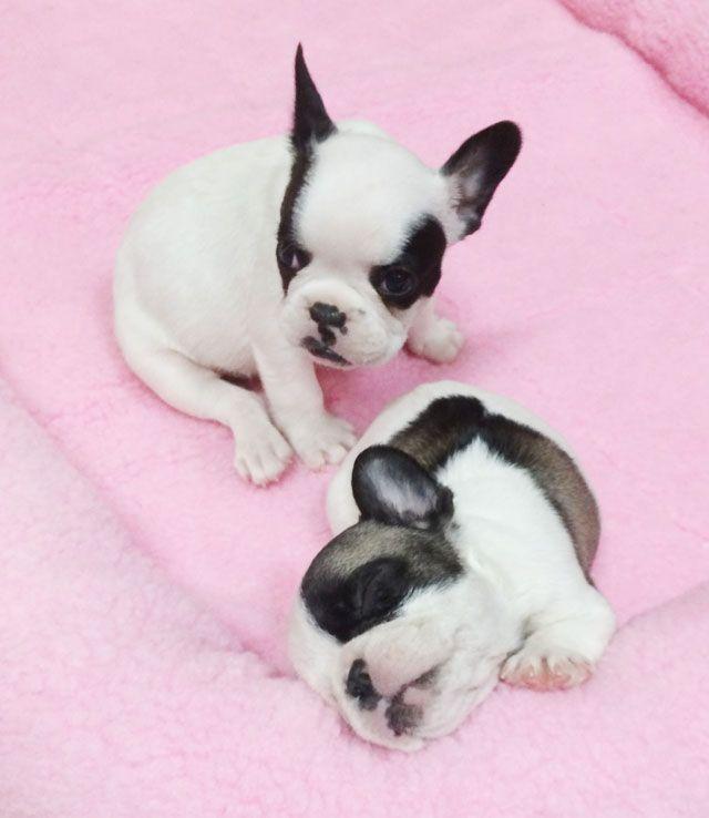 sleepy frenchie pups~ 6 weeks
