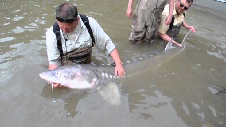 Releasing a 300 pound Fraser river white sturgeon