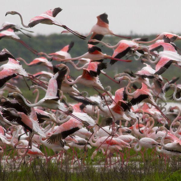 Flamencos en Doñana,  Huelva  Spain (The Parque Nacional de Doñana, situated in the provinces of Huelva, Sevilla and Cádiz is one of Europe's most important wetland reserves and a major site for migrating birds. )