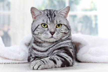"Black & Silver Tabby * * "" I iz notz a thief and dids notz steal any hearts! """