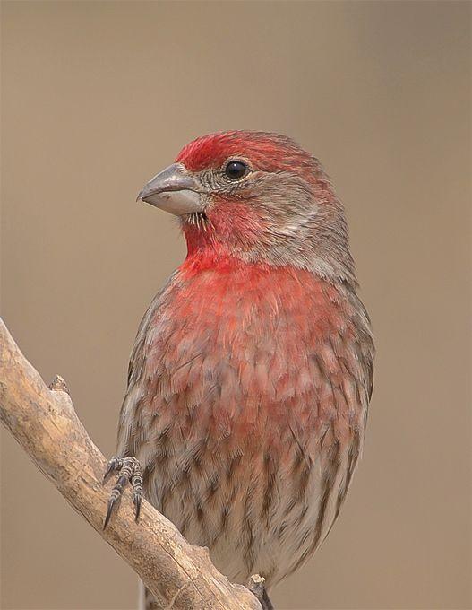 22 best Birds of North Carolina images on Pinterest ...