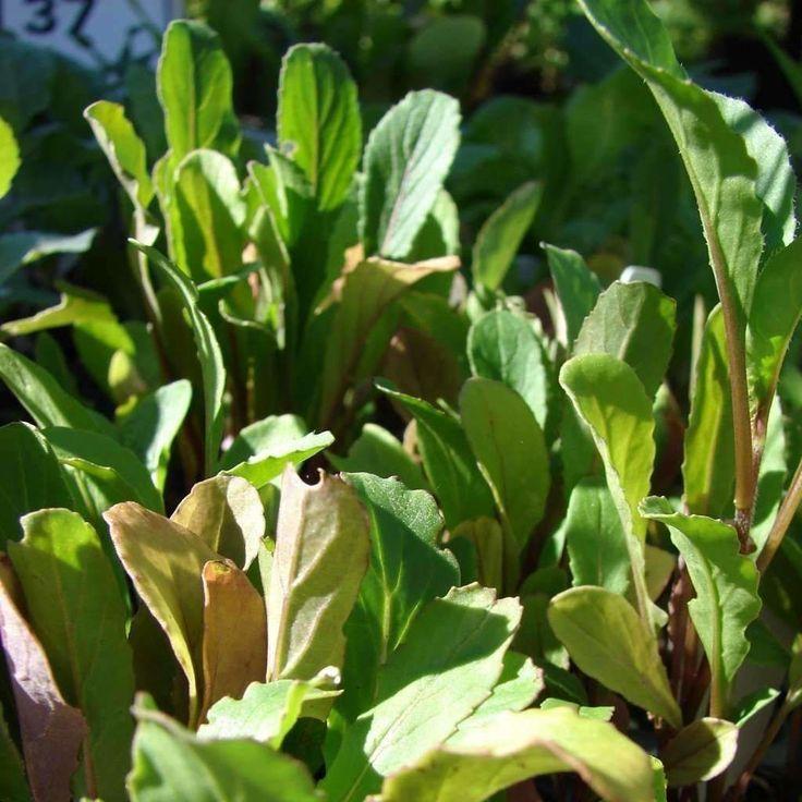 Rocket (arugula) 'Roquette' - (Eruca vesicaria 'sativa')
