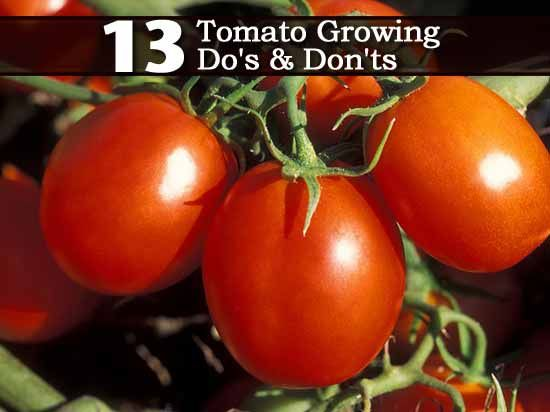 13 Tomatoes Growing Do's and Do Not's
