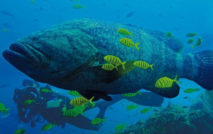 You might see a Goliath Grouper..At #Gorgona #Colombia