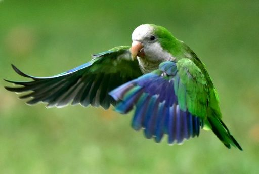 They may be cute, colourful and chatty, but South American quaker parrots have taken up residence in Madrid and other Spanish cities, irritating residents with their shrill squawks and destabilising the ecosystem: