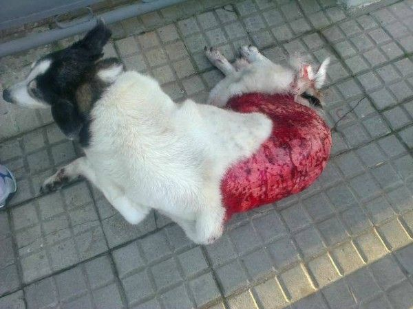Quick links to share the petition: Justice Dina, dog skinned alive in Canelones, Uruguay!   Yousign.org