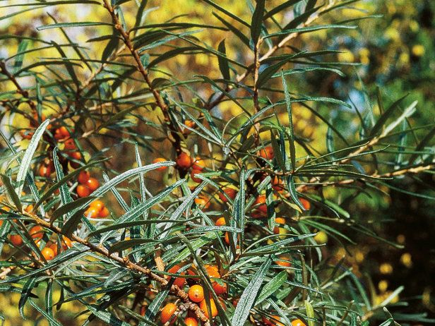 Hippophae rhamnoides or sea buckthorn is a fast growing deciduous thorny plant excellent by - Growing sea buckthorn ...