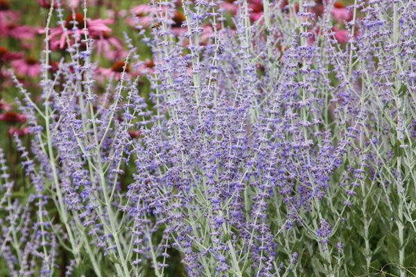 Buy Russian sage Perovskia 'Little Spire (PBR)': Delivery by Crocus.co.uk