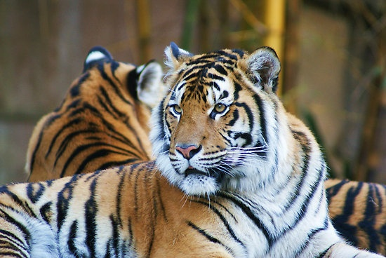 Siberian tiger – the largest tiger