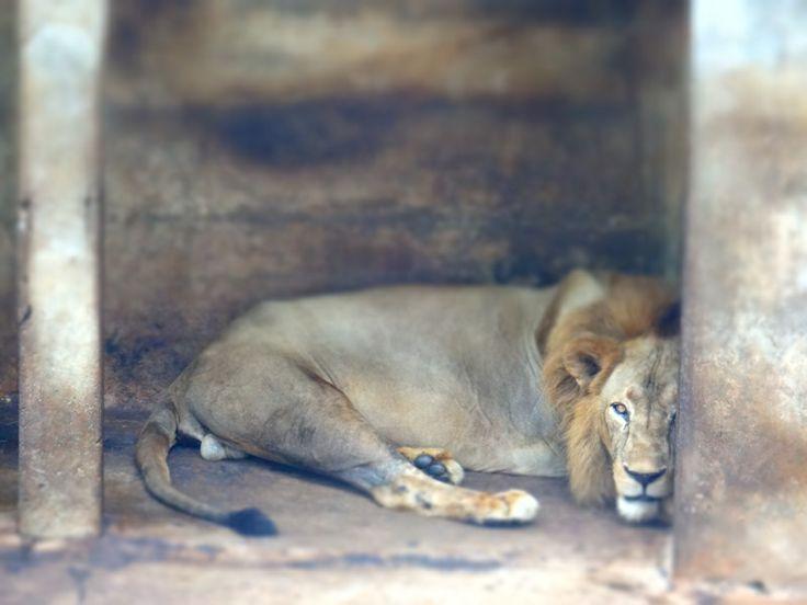 #lion#lazy#