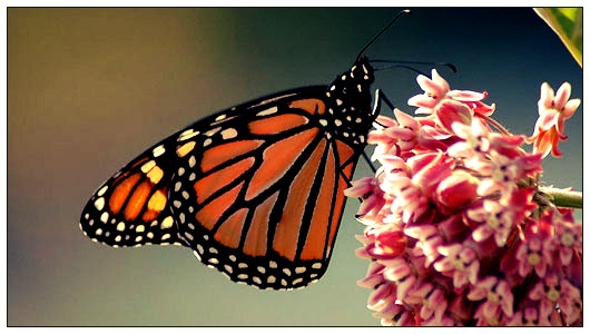 Where Have All the Monarch Butterflies Gone? I am listening....where are they?