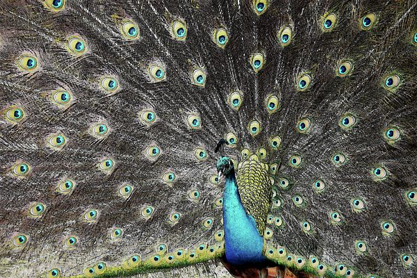 This photo of a peacock was edited to appear as if it was a pencil drawing. This photo can be purchased in various sizes and prices at randy-heath.pixels.com