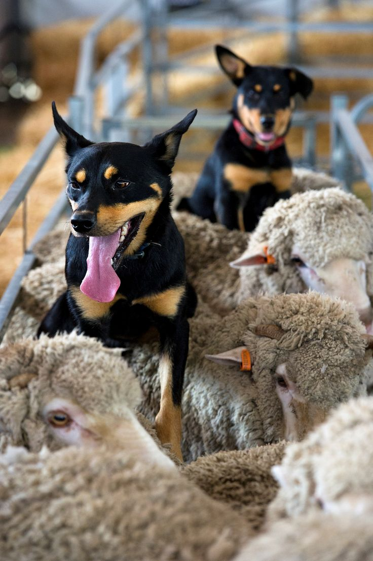 KELPIE - Australian Sheep dogs at the 2012 Sydney Royal Easter Show