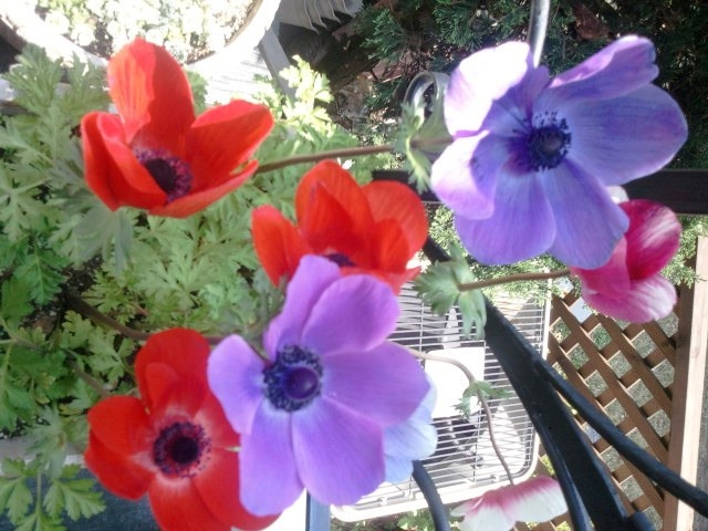 The cute Anemones