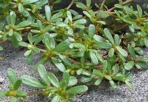 Erdő, mező ehető növényei - Kövér porcsin (Portulaca oleracea)---http://antalvali.com/kover-porcsin-portulaca-oleracea.html