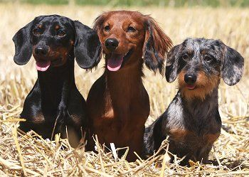 Dachshund Temperament What's Good About 'Em, What's Bad About 'Em