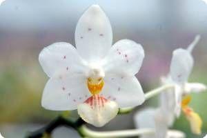 Phal. Yaphon Lobspis ' Circle' - Orchideen der Schwerter Orchideenzucht