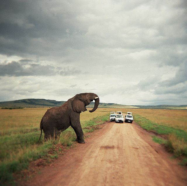 Apparently, the elephant is making a welcoming gesture to acknowledge the presence of the vehicles.