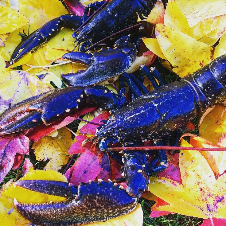 Homard d'automne ! 🍁🍂🎣🦀🐟 #bretagne #lobster #bluelobster #spearfishing #homard