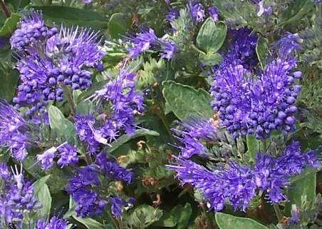 Aromás illatú nyár vége felé virágzó alacsony mézelő virágú díszcserje. A szárazságot jól tűri. a méhek virágzása alatt rendszeresen látogatják. Angol kékszakáll Caryopteris clandonensis