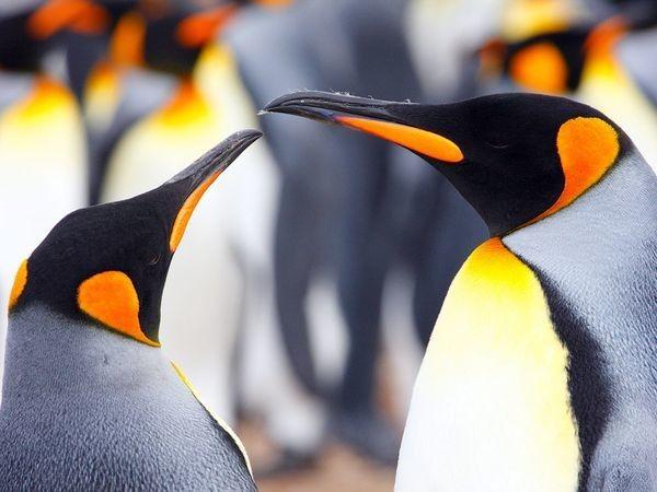 Pareja de pingüinos rey / Fotografía de Gavin Emmons