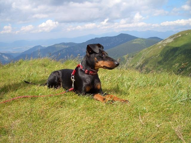 MANCHESTER TERRIER- love the way they act and look. Majestic dogs :)