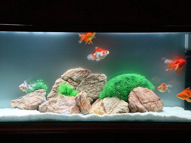 Best 25 goldfish tank ideas on pinterest fish tank for How much is a fish tank