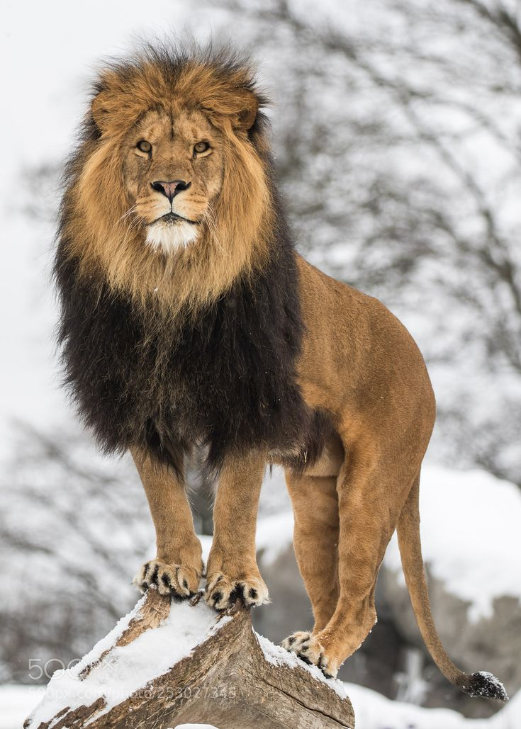 получить картинки гордость льва приносят коже