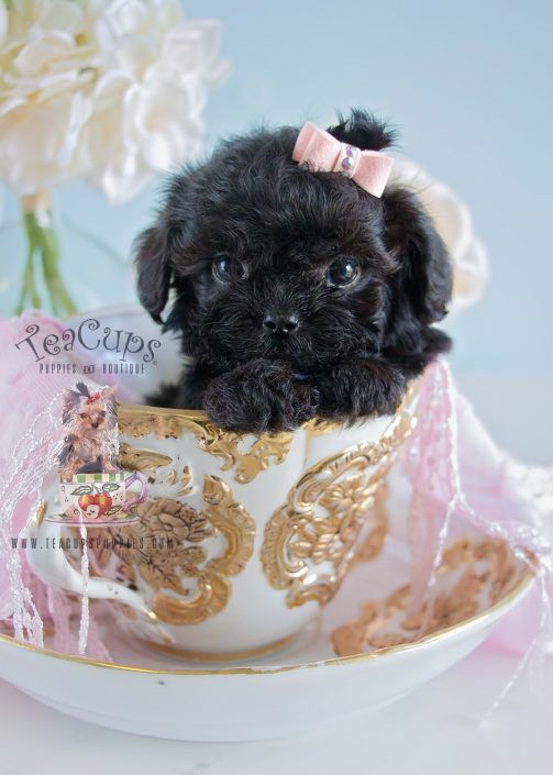 Tiny Maltipoo Puppy For Sale #190