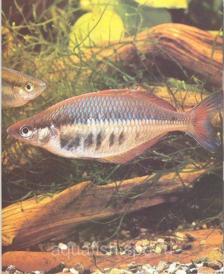 Chilatherina sentaniensis (Sentan Rainbowfish)