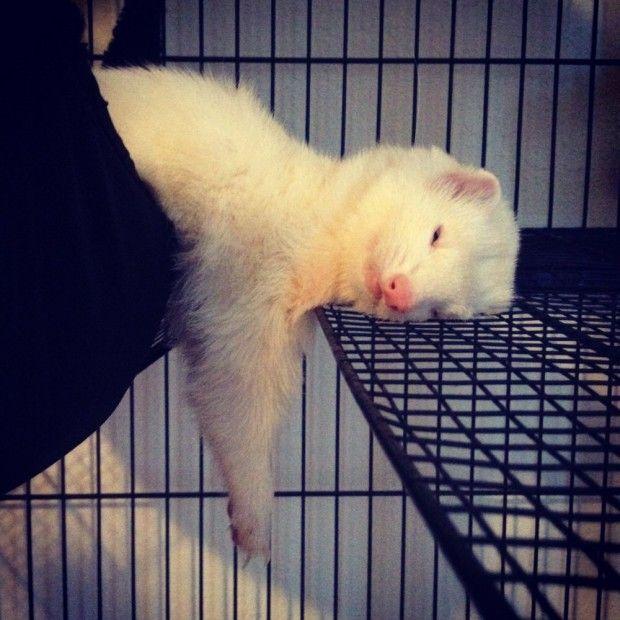 Un Furet qui fait la sieste .... C'est épuisant d'être adorable !!
