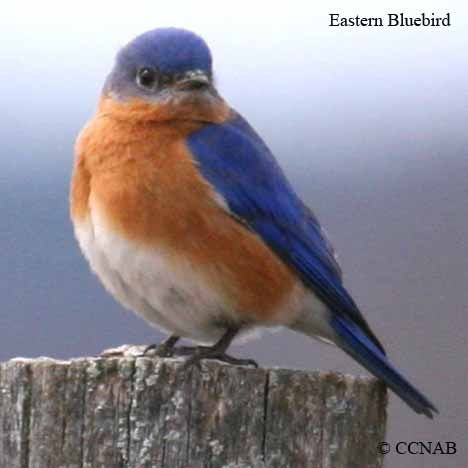 Eastern Bluebird - saw one of these today woo! hoo!