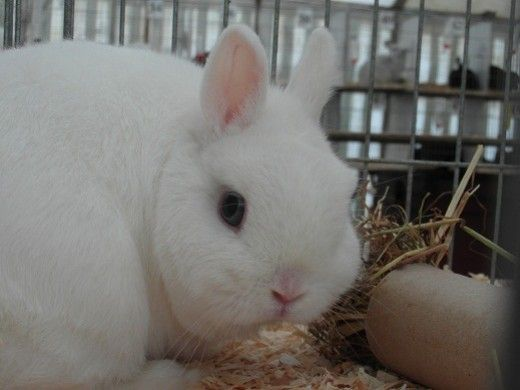 1000+ ideas about Netherland Dwarf on Pinterest | Baby ...