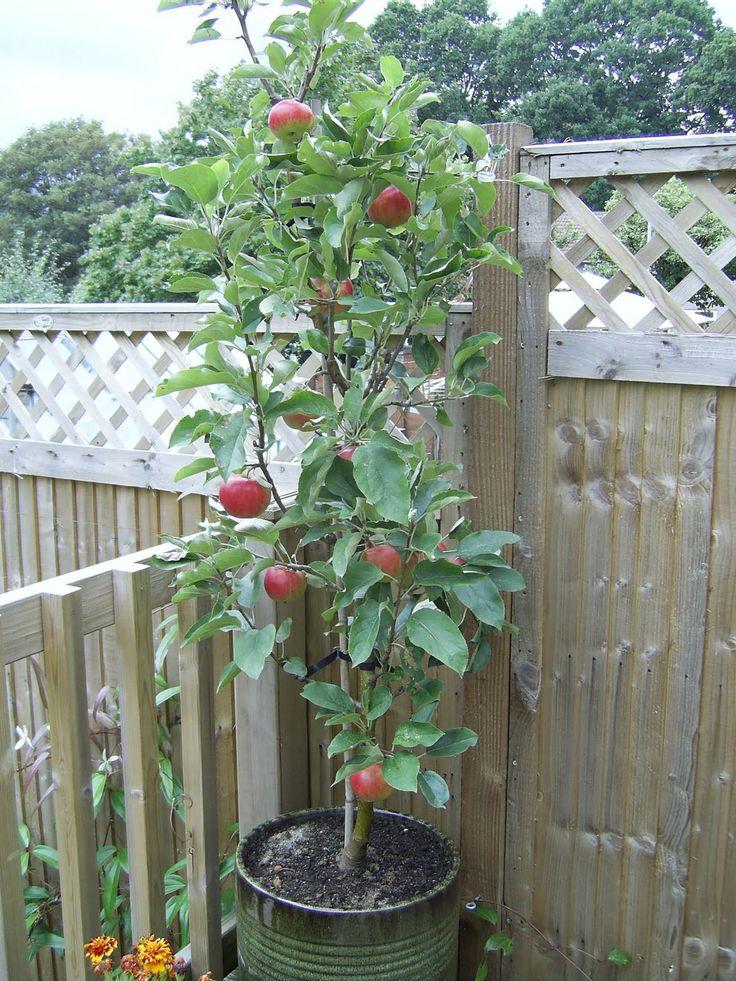 Potted Apple Tree