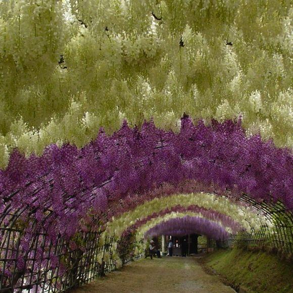 Túnel de Wisteria, situado en los jardines de Kawachi Fuji en Kitakyushu, Japón.