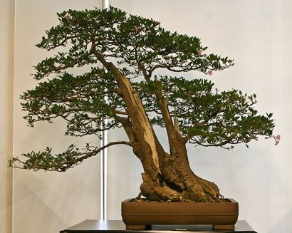 Bonsai through a fabulous phrase