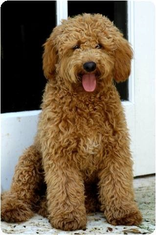 labradoodle: cutest dogs out there!