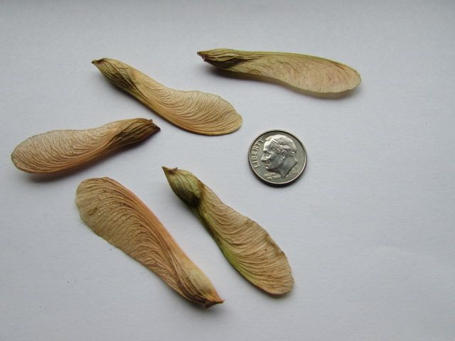 ACER saccharinum - Tree Seeds - Silver Maple, Grow from seed.