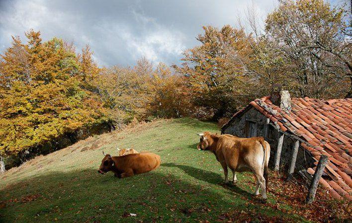 La ternera Asturiana, carne 'roxa' para el mejor cachopo - http://www.conmuchagula.com/2015/06/30/la-ternera-asturiana-carne-roxa-para-el-mejor-cachopo/?utm_source=PN&utm_medium=Pinterest+CMG&utm_campaign=SNAP%2Bfrom%2BCon+Mucha+Gula