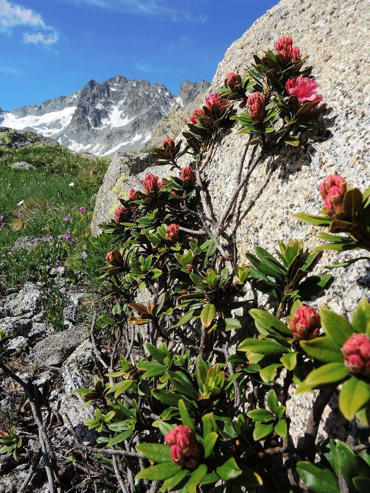 RHODODENDRON FERRUGINEUM (Rododendro ferrugineo. Rostblättrige Alpenrose. Rhododendron  ferrugineux. Rjasti sleč. Alpenrose). Ericaceae