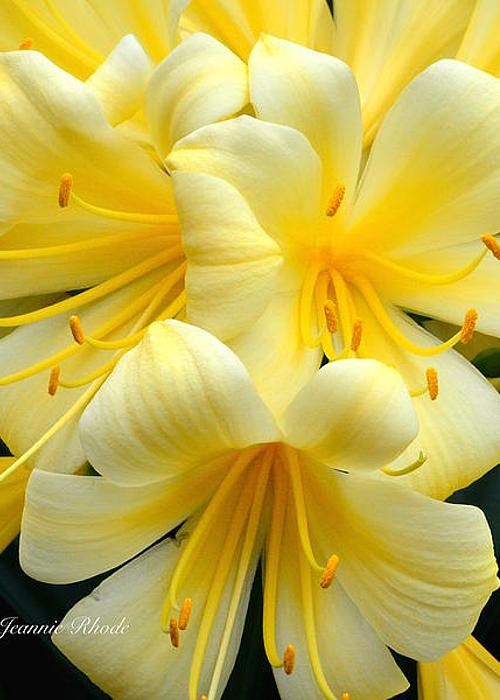 Yellow Clivia by Jeannie Rhode