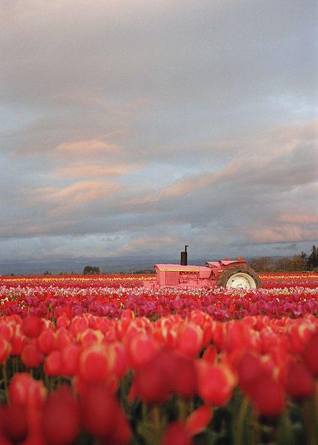 Sunset at Wooden Shoe Tulip Farm
