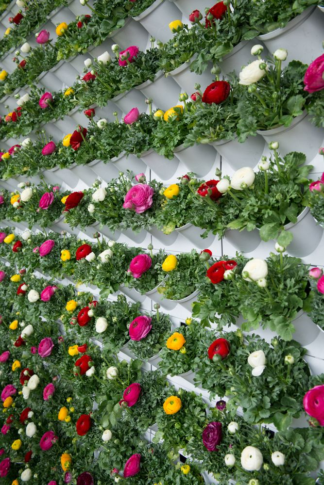 Wall of Ranunculus Sprinkles