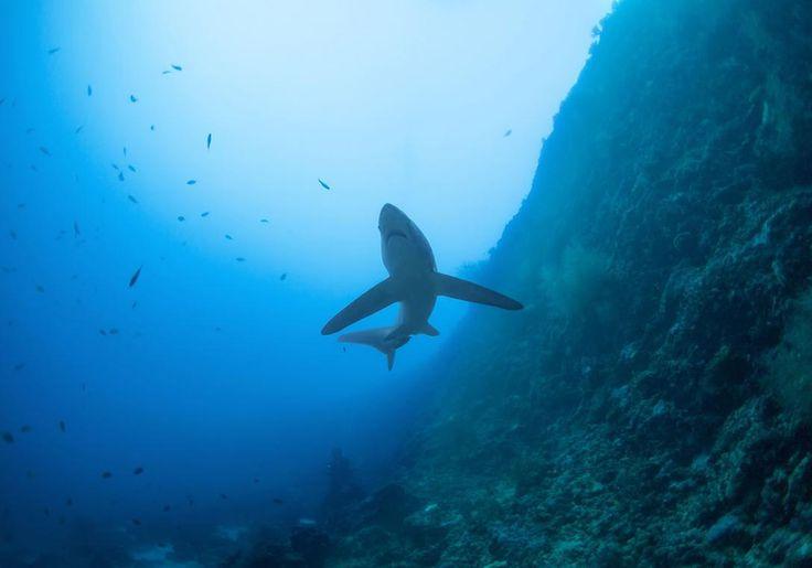 Malapascua er i top 5 over de bedste dykkersteder i Filippinerne, fordi her næsten er garanti for at se revhajer.