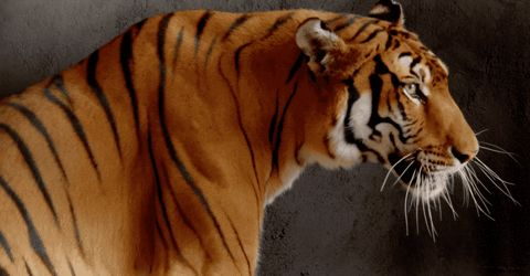 Тигр гифка рычащий