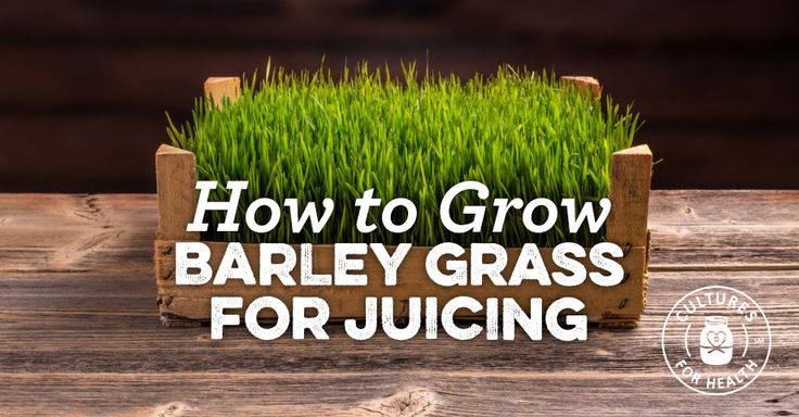 How To Grow Barley Grass for Juicing